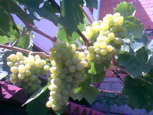 Первый урожай сорта Луиза Свенсон