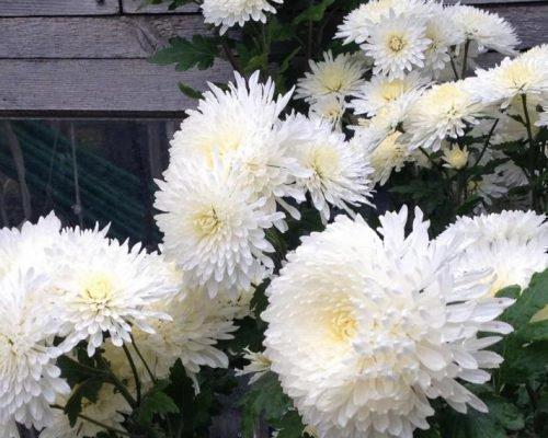 Царевна Лебедь хризантема