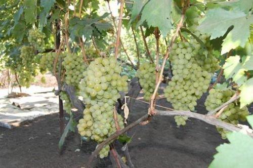 Урожайность сорта винограда Мускат Посада