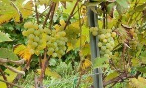 Правила выращивания винограда Луиза Свенсон в холодных регионах