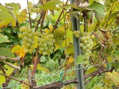 Виноград Луиза Свенсон