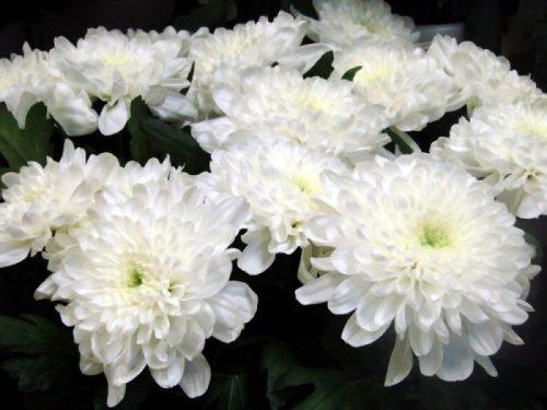 Хризантема Зембла Вайт