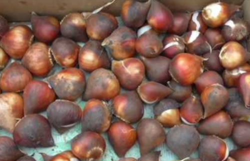 Луковицы тюльпана Мелроуз