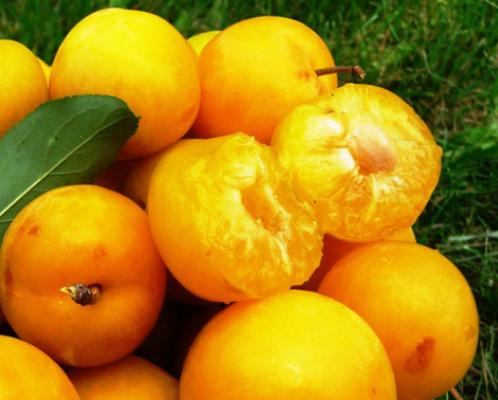 Мякоть плодов Царской алічи