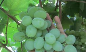 Сорт винограда Мускат Посада