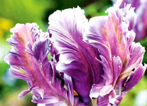 Сорт тюльпана Дубрава
