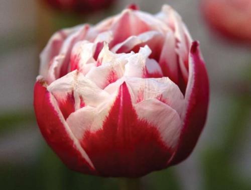 Махровый сорт тюльпана Мелроуз