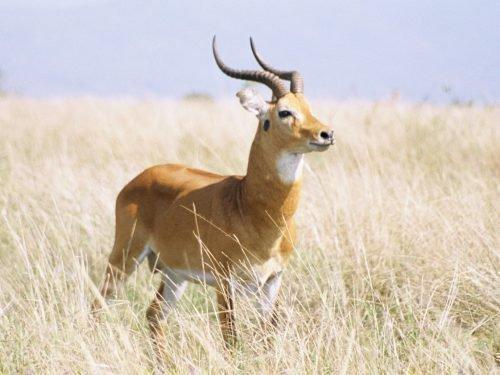 африканский болотный козел