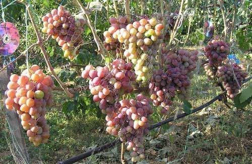 Защита винограда Атаман от птиц