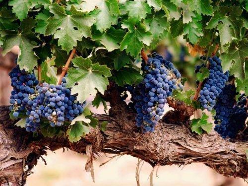 болезни винограда серая гниль