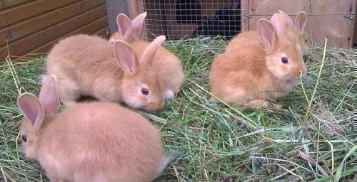 Выводок кроликов
