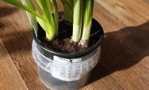 Что делать после выгонки с луковицами тюльпанов