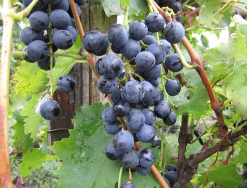 виноград Мускат Донской