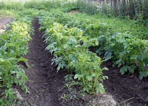 Окучивание кустов картофеля Импала