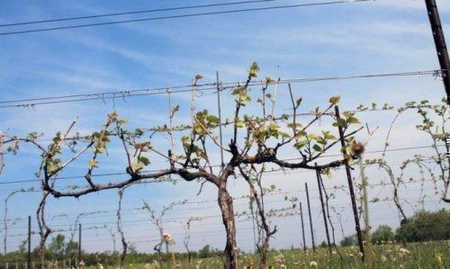 Шпалера винограда Луиза Свенсон весной