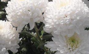Самые популярные разновидности белых хризантем