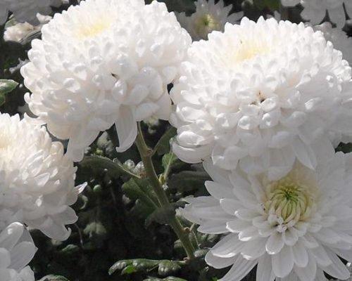 Белые хризантемы Рибонет