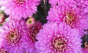 Основные правила выращивания хризантемы Аленка Салмон