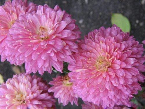 хризантема аленка