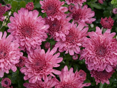 хризантема бордюрная