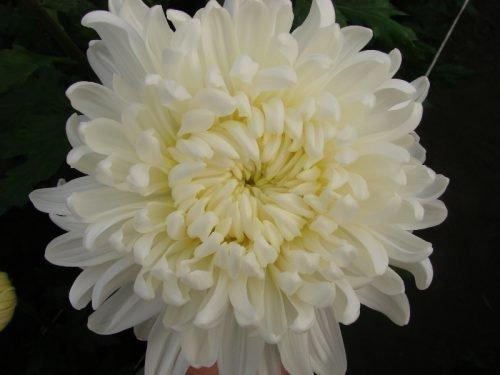 Хризантемы Рибонет