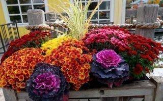 Идеи для использования хризантем в ландшафте сада