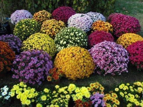 хризантемы в ландшафтном дизайне