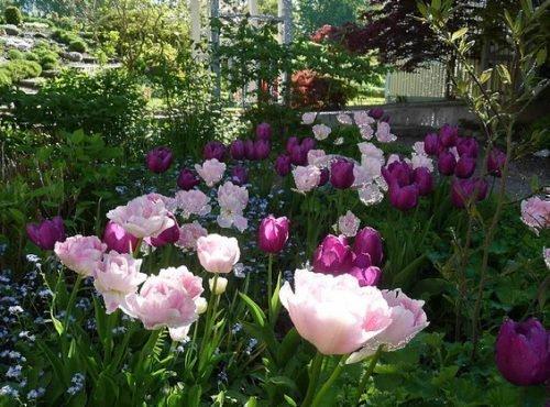 Тюльпаны в рабатке