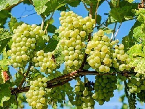 как вырастить виноград из черенка