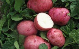 Правила посадки сорта картофеля Беллароза