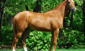 Лошади каурой масти
