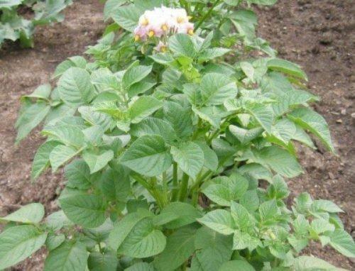 Куст картофеля Импала