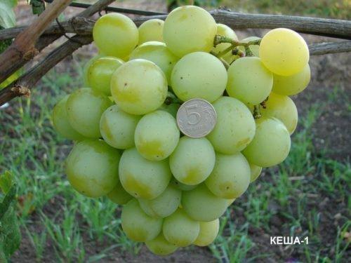 Виноград кеша. Гроздь