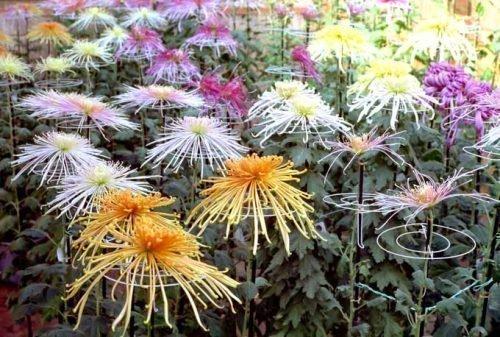Игольчатые хризантемы высокорослые