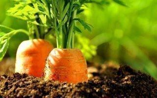 Правила посева моркови на зиму