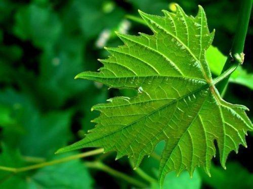 листья винограда полезные свойства