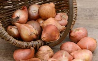 Правила выбора луковиц тюльпанов