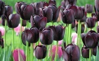 Техника посадки многолетних тюльпанов