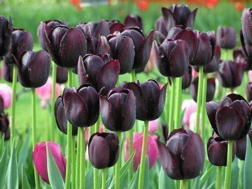 многолетние тюльпаны