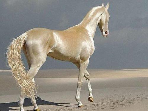 порода лошадей ахалтекинская