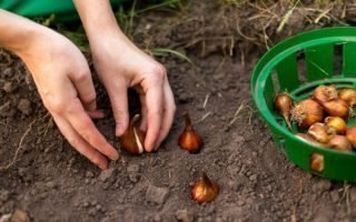 Как и когда высаживать тюльпаны осенью в Ленинградской области