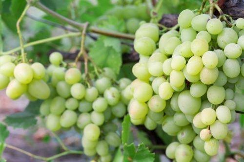 Урожайность винограда Кеша