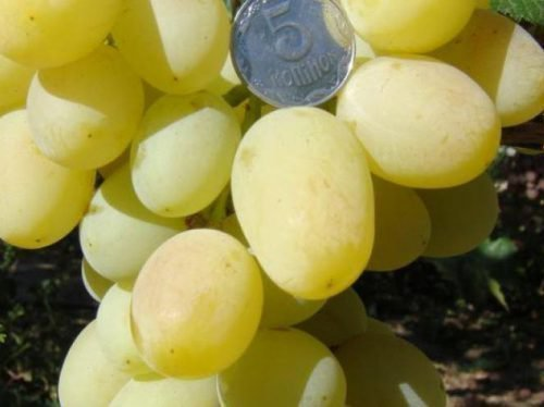 сорт винограда прозрачный
