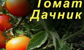 Правила выращивания томатов сорта Дачник