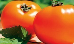 Секреты разведения томатов Хурма