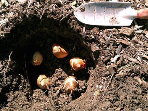 Гнездовая посадка тюльпанов