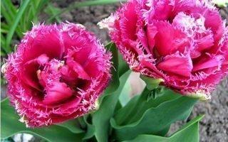 Как вырастить тюльпаны сорта Маскотте