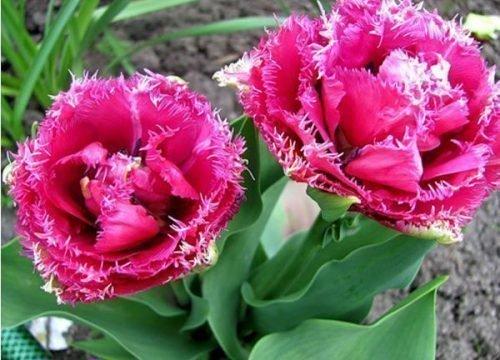 Сорт тюльпанов Маскотте