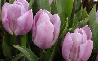 Как правильно сажать элитный сорт тюльпанов Кэнди Принц