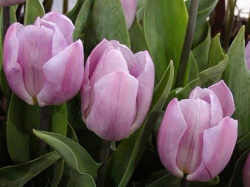 тюльпан кэнди принц